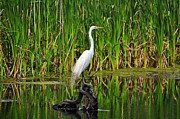 Breeding Posters - Exquisite Egret Poster by Al Powell Photography USA
