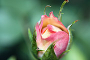 ChelsyLotze International Studio - Extreme Close-up Rose Bud