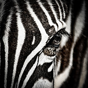 Zebra Face Prints - Eye Contact Print by Mike Gaudaur