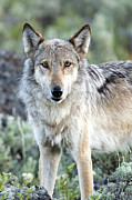 Canid Posters - Eye Contact with a Gray Wolf Poster by Deby Dixon