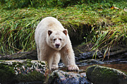 Black Bear Photos - Eye Contact with Spirit Bear by Melody and Michael Watson
