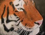 Etc. Painting Prints - Eye of a Tiger Print by Michael Hall