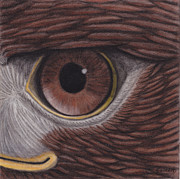 Red Tail Hawk Paintings - Eye of Red Tailed Hawk by Wendy Somero Bello