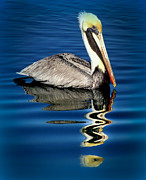 Pelicans Framed Prints - EYE of REFLECTION Framed Print by Karen Wiles
