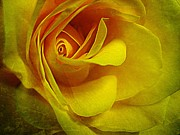 Yellow Green Posters - Eye of Rose Poster by Shirley Sirois