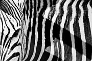 Zebra Face Prints - Eye of the beholder  Print by A Rey