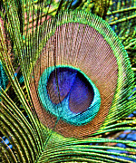 Macro Posters - Eye of the Feather Poster by Kristin Elmquist