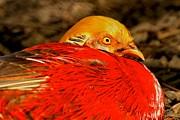 Adam Jewell - Eye Of The Golden Pheasant