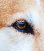Dogs Swimming Photos Prints - Eye of The Hound Print by Lisa  DiFruscio