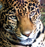 Leopard Hunting Framed Prints - Eye Of The Leopard Framed Print by Athena Mckinzie