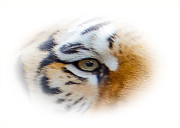 The Tiger Originals - Eye Of The Tiger by Dennis Dugan