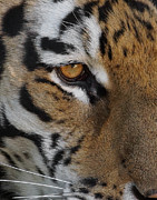 The Tiger Photo Metal Prints - Eye of the Tiger Metal Print by Ernie Echols