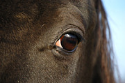 Equine Pyrography Prints - Eye See You Print by Donna Stiffler