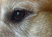 Canine Photo Prints - Eye See You Print by Lisa  Phillips