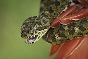 Juan Carlos Vindas - Eyelash Palm Pitviper on...