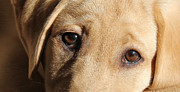 Labrador Retrievers Posters - Eyes of a Dog Labrador Retriever Poster by Jennie Marie Schell