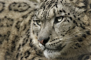 Chris Boulton - Eyes of a Snow Leopard