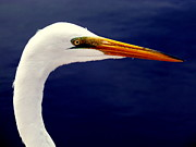 Egrets Prints - EYES of STEEL Print by Karen Wiles