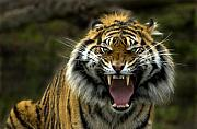 Wildlife Metal Prints - Eyes of the Tiger Metal Print by Mike  Dawson