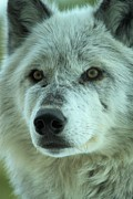Wolf Portrait Prints - Eyes Of The Wolf Print by Adam Jewell