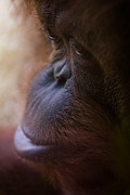 Orangutan Framed Prints - Eyes Framed Print by Shane Holsclaw