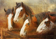 Clydesdale Posters - Faces Of Four Poster by Trudi Simmonds