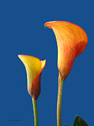 Calla Lily Posters - Facing The Day Poster by Donna Blackhall