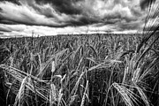 Crops Art - Facing The Storm by John Farnan