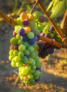 Pinot Noir Photos - Fading light by Jean Noren
