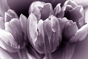 Purple Floral Prints - Fading Tulip Flowers Lavender Gray Monochrome Print by Jennie Marie Schell