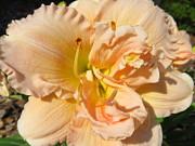 Dorothy Menera - Faithful Bloomer