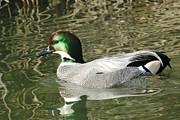 Kenneth Haley - Falcated Duck II