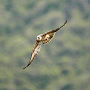 Yellow Beak Photos - Falcon by Alistair Lyne