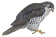 Hawk Paintings - Falcon by Anonymous