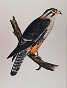 Movie Poster Prints Prints - Falcon Aplomado Falcon Print by Movie Poster Prints