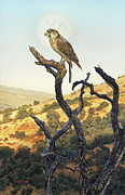 Raptor Paintings - Falcon in the Sunset by Stu Shepherd
