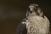 Gyrfalcon  Metal Prints - Falcon Watch Metal Print by Inspired Nature Photography By Shelley Myke