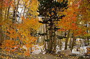 Orange Trees Prints - Fall and Snow Print by Cat Connor
