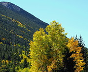 Lush Colors Posters - Fall Aspen Trees in Colorado Poster by Amy McDaniel