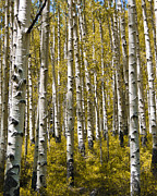 Tall Tree Framed Prints - Fall Aspens Framed Print by Adam Romanowicz