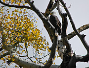 Rachele Morlan - Fall Bald Eagle