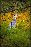 LeeAnn McLaneGoetz McLaneGoetzStudioLLCcom - Fall Blue Heron