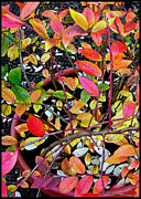 Blueberry Digital Art Prints - Fall Blueberry Bush Print by Gary Olsen-Hasek