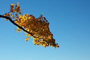 Turning Leaves Posters - Fall Branch before a Clear Sky Poster by Jannis Werner