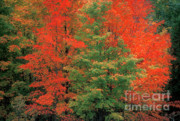 Green Seasonal Prints - Fall Brilliance Print by Sandra Bronstein