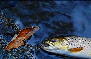 Brown Trout Prints - Fall Brown Trout Print by Thomas Young