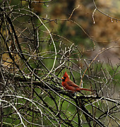Male Cardinal Framed Prints - Fall Cardinal Framed Print by Thomas Young