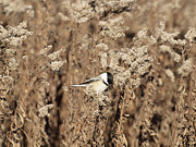 Tiny Bird Photos - Fall Chickadee by Thomas Young