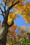Nicholas County Posters - Fall Color Sugar Maple Poster by Thomas R Fletcher