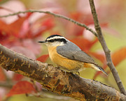 Shenandoah Valley Metal Prints - Fall Colors Nuthatch Metal Print by Lara Ellis